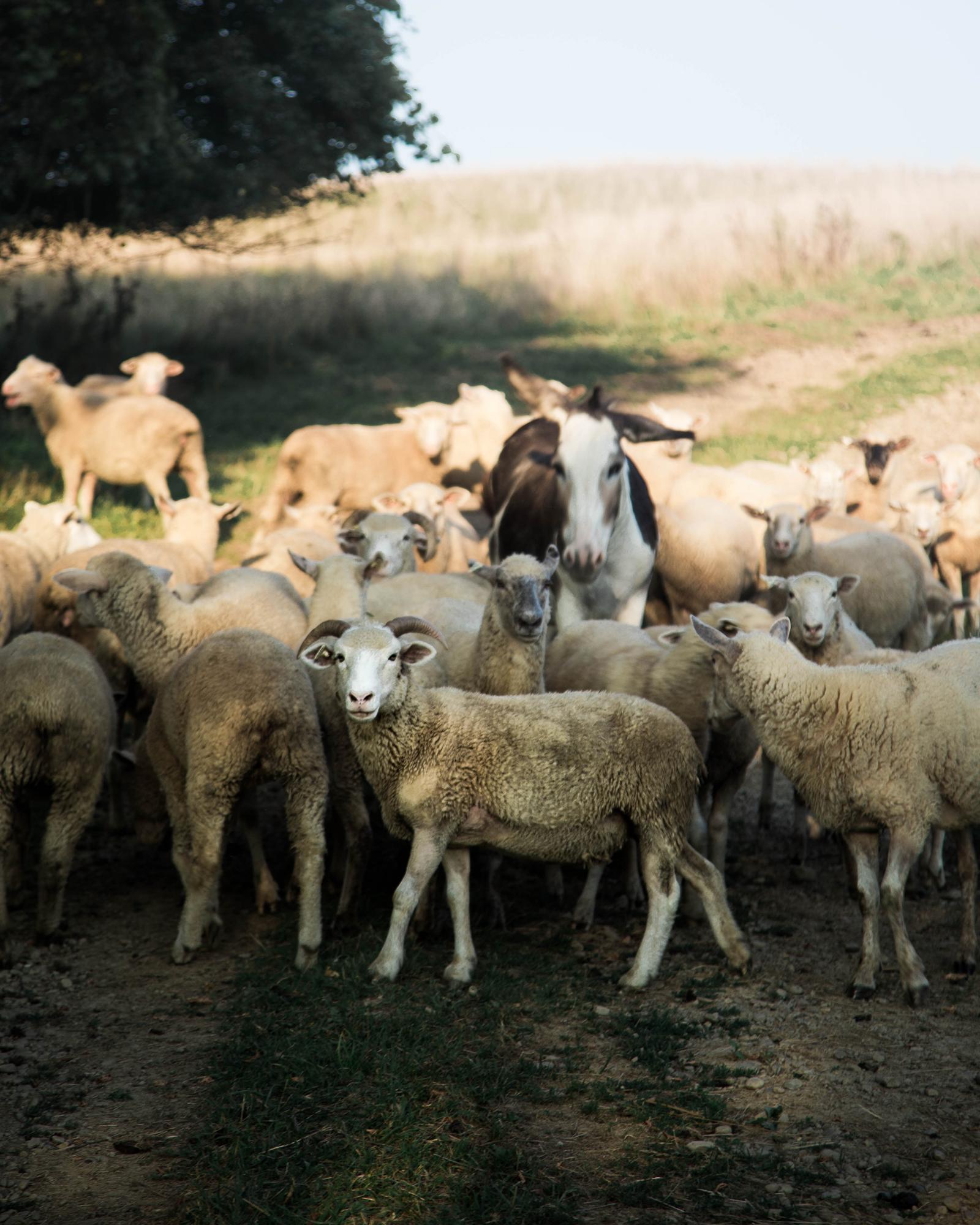 Herd o' Sheep
