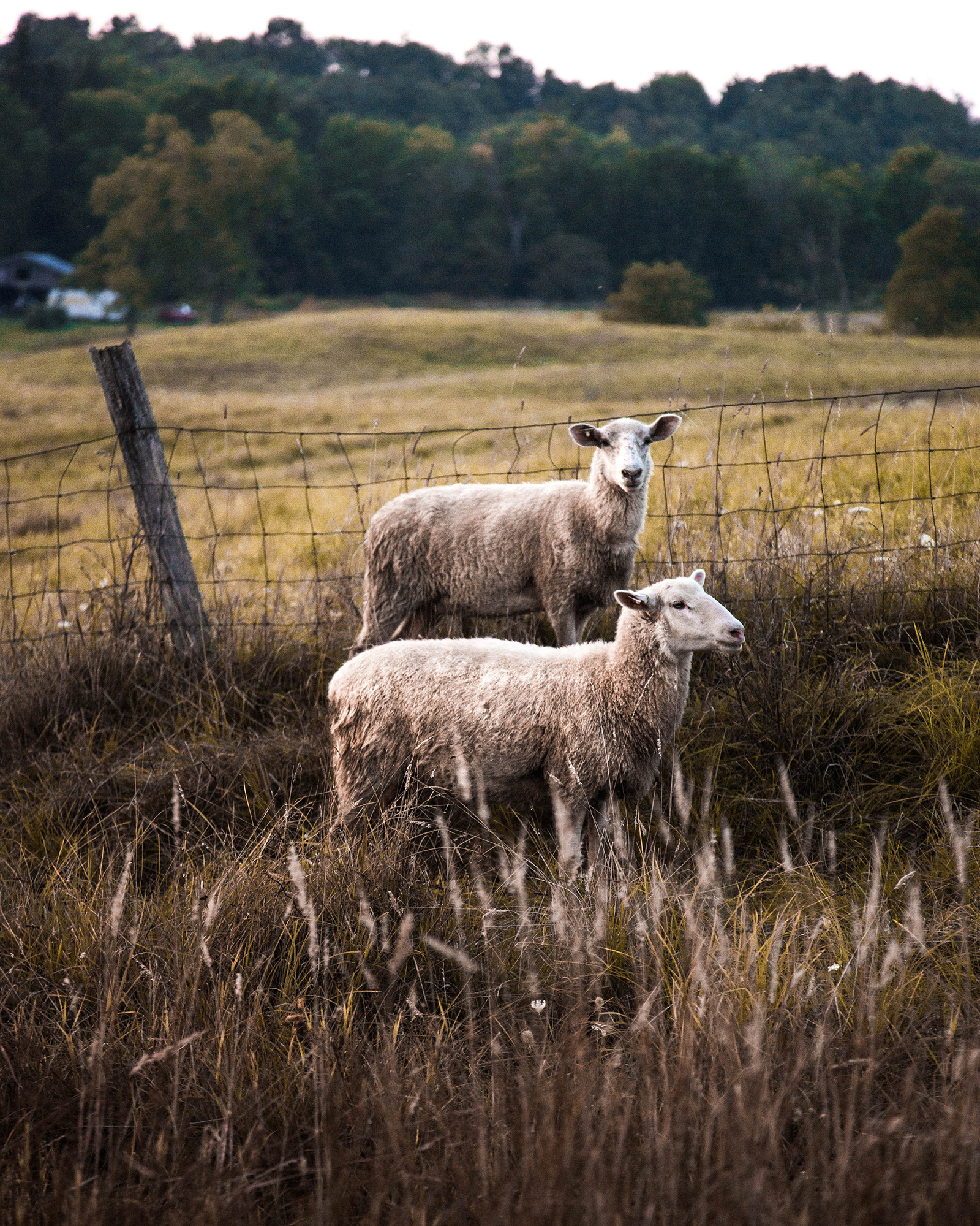Sheep Duo